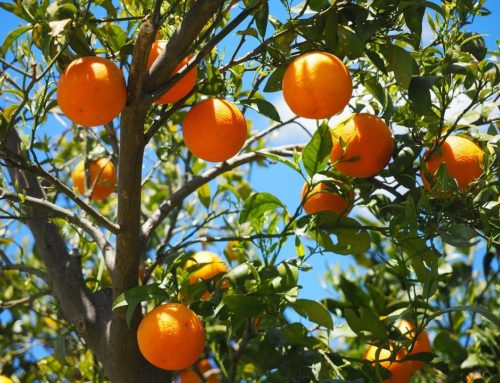 Florida's Citrus Harvest by the Numbers