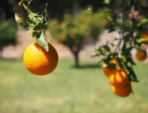 Important Considerations For Establishing New Citrus Groves