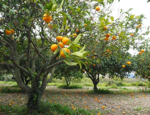 Growers Find Ally in Emergency Citrus Disease Response Act