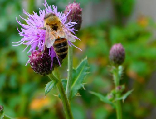 Study Identifies Ornamental Plants with Potential to Benefit Bees and Others